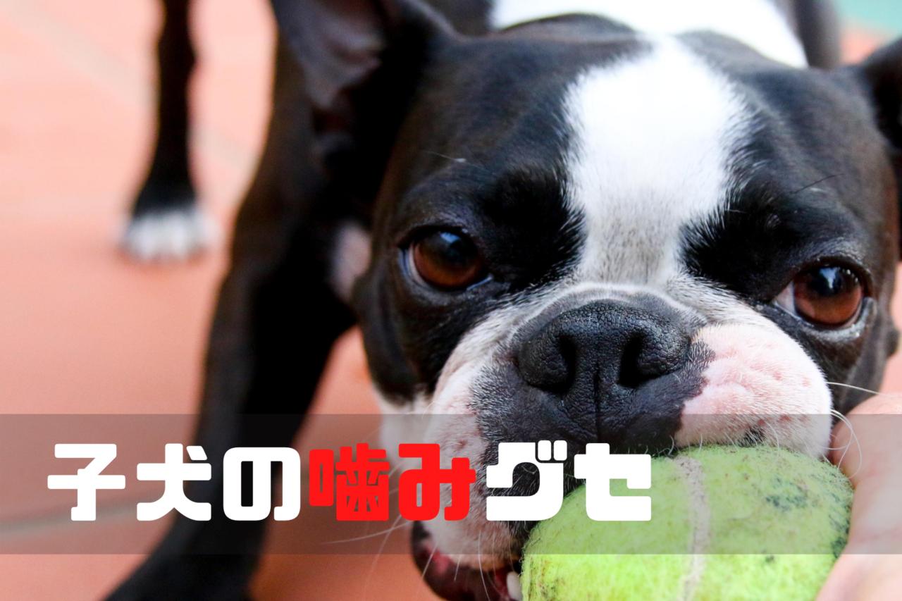 子犬の噛み癖、2ヶ月3ヶ月治すしつけの方法